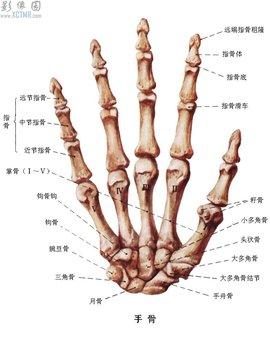 腕的骨路结构图