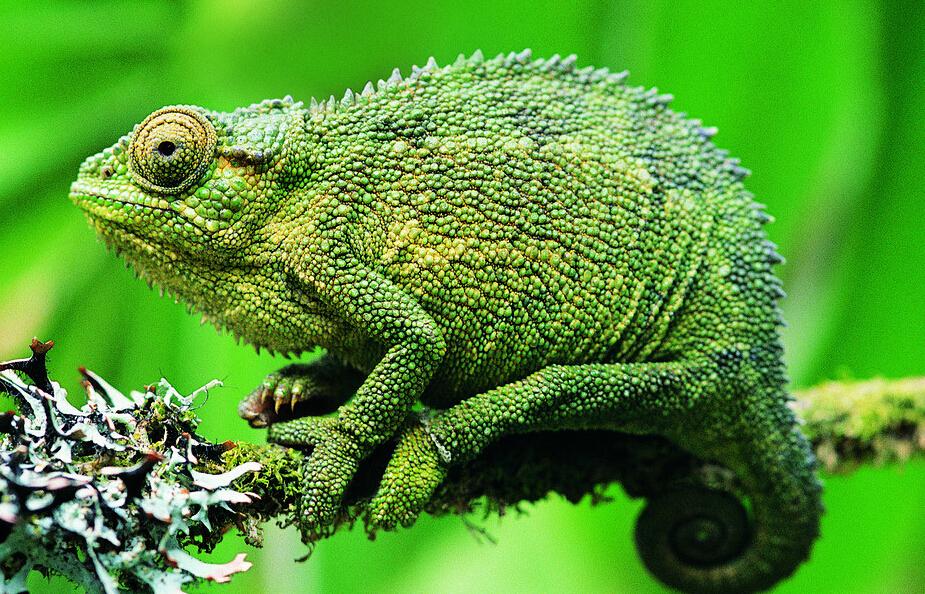 变色龙是爬行动物,是非常奇特的动物,它有适于树栖生活的种种特征和